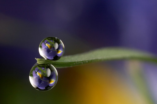 Iris dewdrop refraction #2