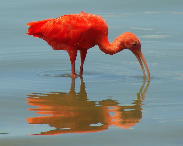 Ibis - Le tavole di thoth ...