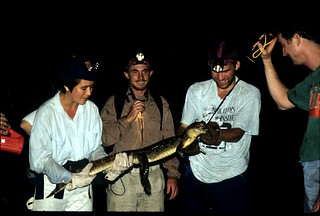 Caiman crocodylus capture