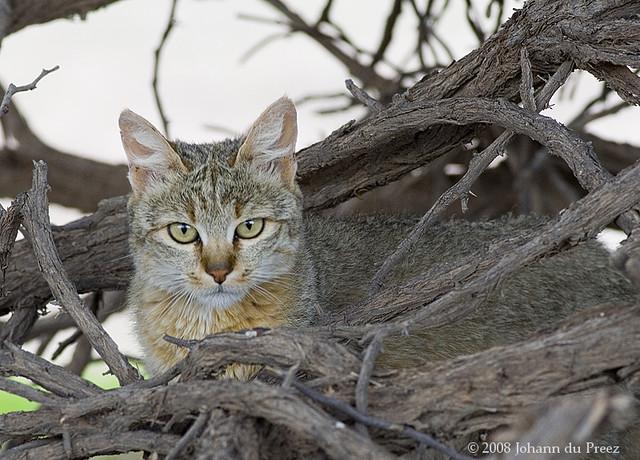 Southern African Wildcat (Felis silvestris cafra) in Kgalagadi Transfrontier Park. Image taken by on  Johann du Preez 24 December 2007