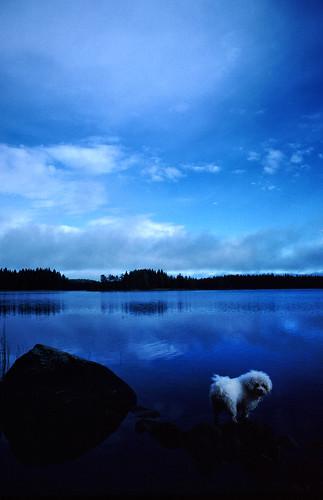 Blue Bichon F