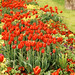 Red-yellow Tulips Garden