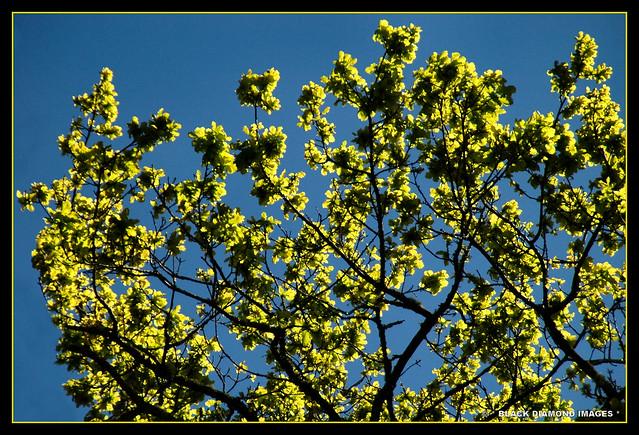 Fraxinus excelsior 'Aurea' - Golden European Ash ?? - Milton Park Lodge - Bowral