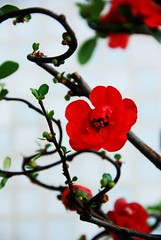 ChaenOmeles Japonica (Japanese Quince)日本海棠
