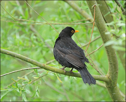 wet Blackbird
