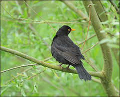 wet Blackbird