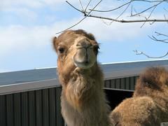 camel snaking on tree