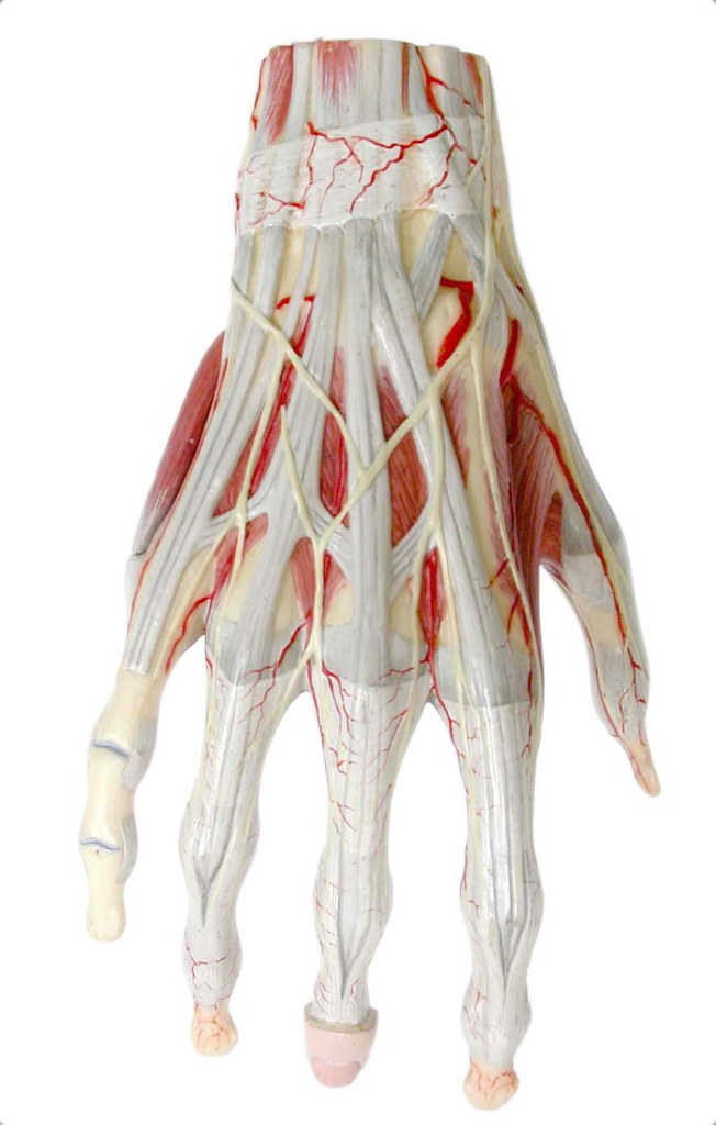 Posterior aspect of tendons and muscles of the right hand - a photo ...