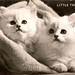 Kittens (longhair) - Little Treasures - RP 336 Valentine's real photo