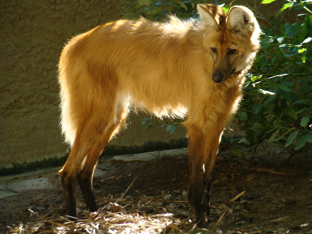 Image Result For Can Maned Wolves