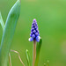 grape hyacinth - Photo (c) Doris, some rights reserved (CC BY-NC-SA)
