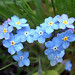 Forget-Me-Nots by Clyde Barrett