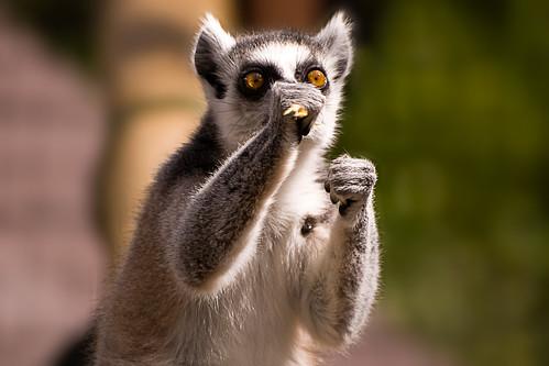 Lemur Boxing - 無料写真検索fotoq