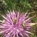 A plant bug Calocoris roseomaculatus