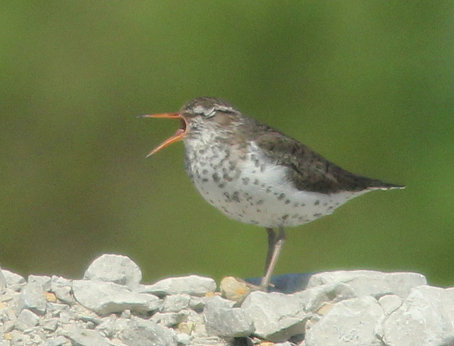 Spotted Sandpiper singing 20110522