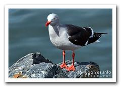 Gaviota austral / Dolphin gull