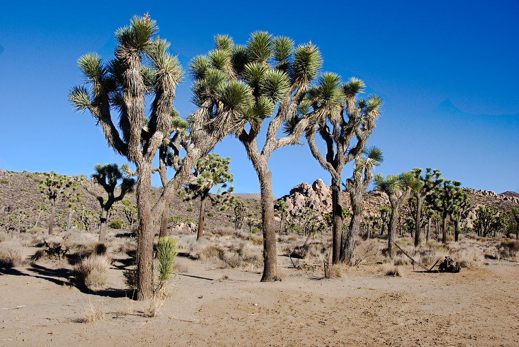 Joshua Tree - Photo (c) John Weiss, some rights reserved (CC BY-NC-ND)
