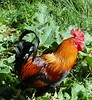 cock_of_the_limousin