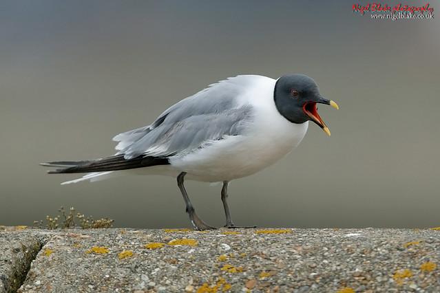 Sabines Gull Larus sabiniSabines Gull