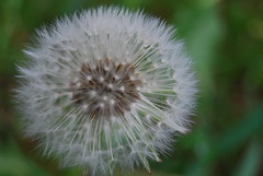dandelion [at] 8400