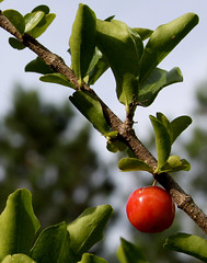 Acerola Cherry Facts