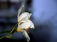 Cymbidium erythrostylum orchid species