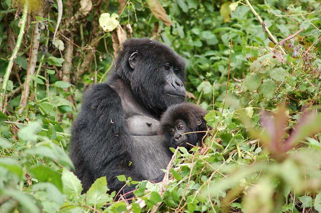 Gorilas de montaña en el Parque Nacional de los Volcanes. Las montañas Virunga. Ruanda.