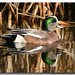 American Wigeon - Photo (c) Derek Scott, some rights reserved (CC BY-NC)