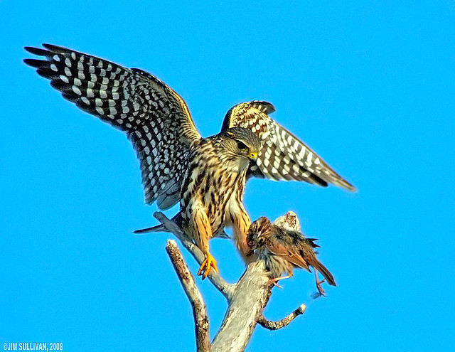 Merlin with Song Sparrow by Jim Sullivan