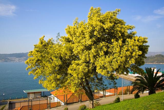 Acacia Dealbata.
