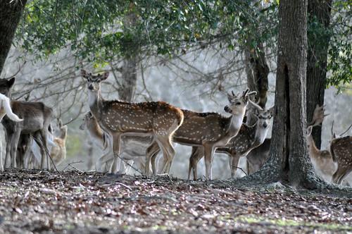 fisherbray usa unitedstates florida santarosacounty jay nikon d5000 santarosaranch axisdeer axisaxis chital cheetal deer spotteddeer