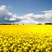 Yellow Field and Blue Sky with Clouds - Tayside Scotland