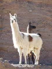 alpaca(1.0), animal(1.0), mammal(1.0), llama(1.0), fauna(1.0), vicuã±a(1.0), guanaco(1.0), wildlife(1.0),