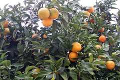 evergreen, calamondin, citrus, branch, kumquat, yuzu, fruit, tangelo, bitter orange, tangerine, mandarin orange,