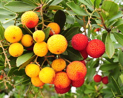shrub(0.0), rambutan(0.0), flower(0.0), plant(0.0), wine raspberry(0.0), produce(0.0), food(0.0), evergreen(1.0), strawberry tree(1.0), myrica rubra(1.0), flora(1.0), fruit(1.0),