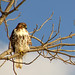 Red Tail Hawk (Crop)