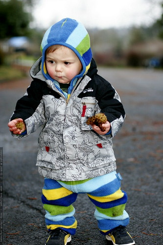 sequoia, collecting chestnuts and pinecones in the middle of the street    MG 9339