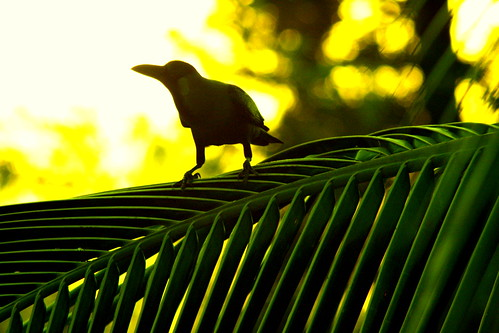 Crow on Coconut Palm