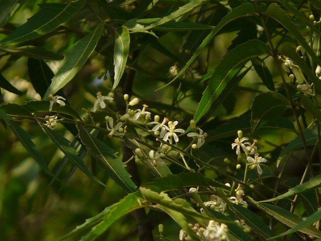 Azadirachta indica | Flickr - Photo Sharing!