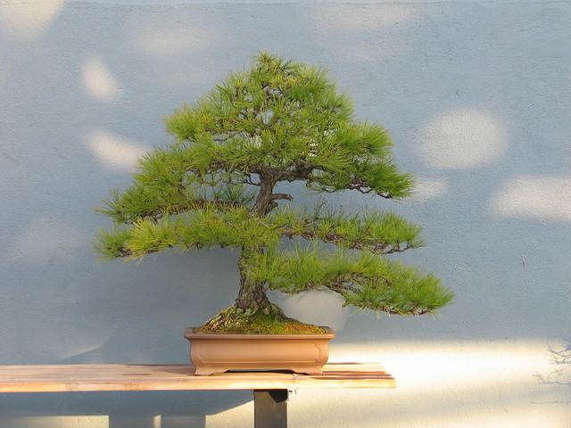 Pinus densiflora  Style Informal Upright