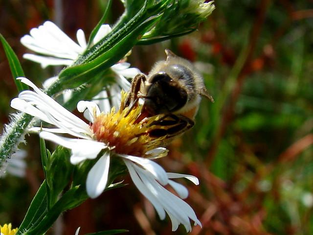 Header of honeysucker