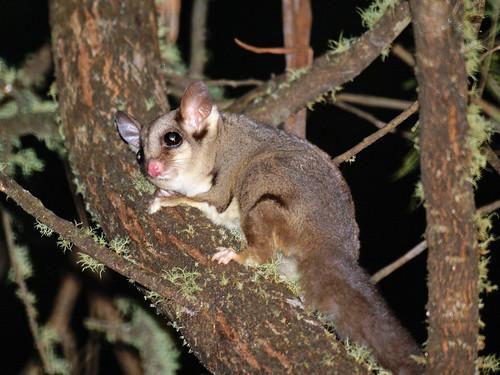 澳洲瀕危的袋鼯。(來源:David Cook Wildlife Photography)