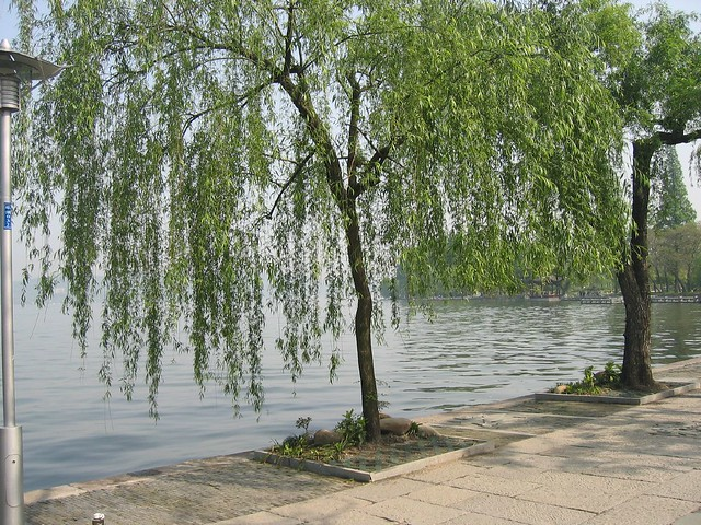 Salix babylonica ´Pendula´ (Peking Willow, Babylon Willow, Weeping Willow)