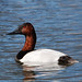 Canvasback - Photo (c) Jerry Oldenettel, some rights reserved (CC BY-NC-SA)