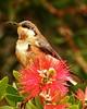 Eastern Spinebill Acanthorhynchus tenuirostris Australia Honeyeater