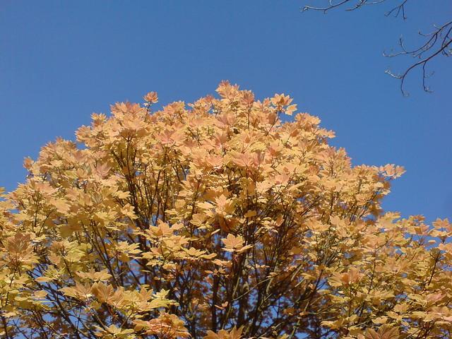 Acer pseudoplatanus ´Brilliantissimum´