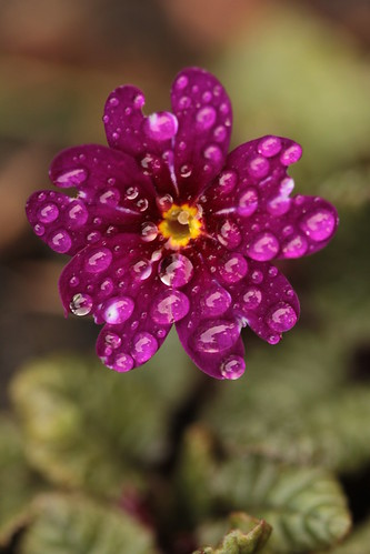 Primula juliae by small-things