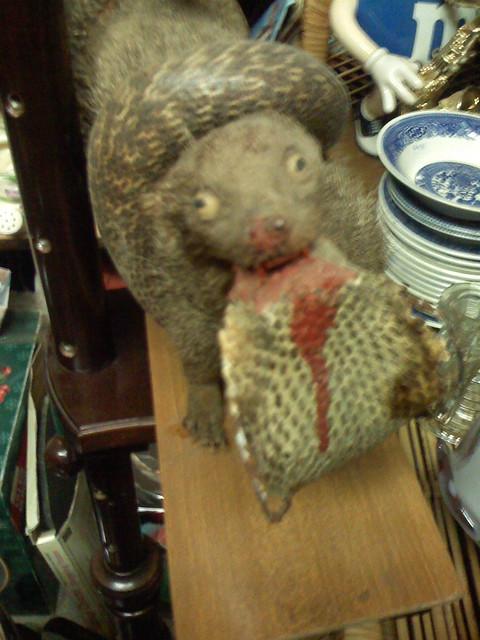 mongoose eating a snake