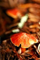 bright red mushroom    MG 8018