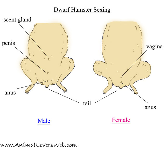 Hamster anatomy diagram
